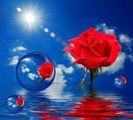 red-rose-1275807_960_720